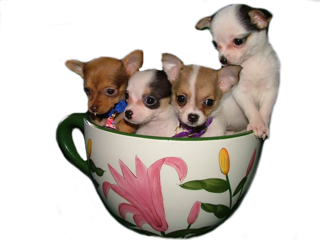 Teacup dogs for sale nothing more than a passing fad