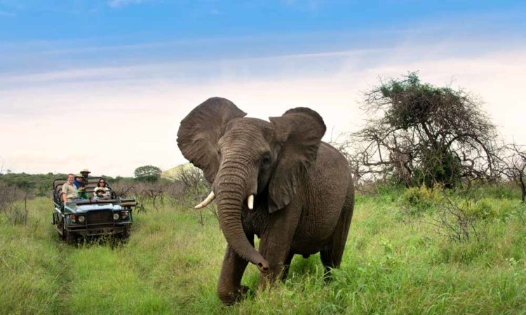 Elephant on safari tour in South Africa
